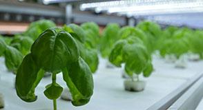 松山の野菜工場